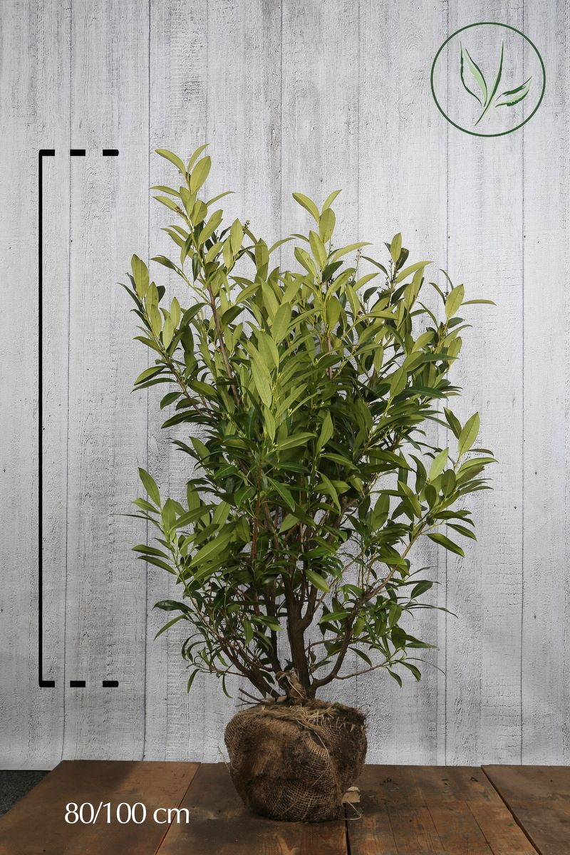 Lauroceraso 'Herbergii' Zolla 80-100 cm Qualità extra