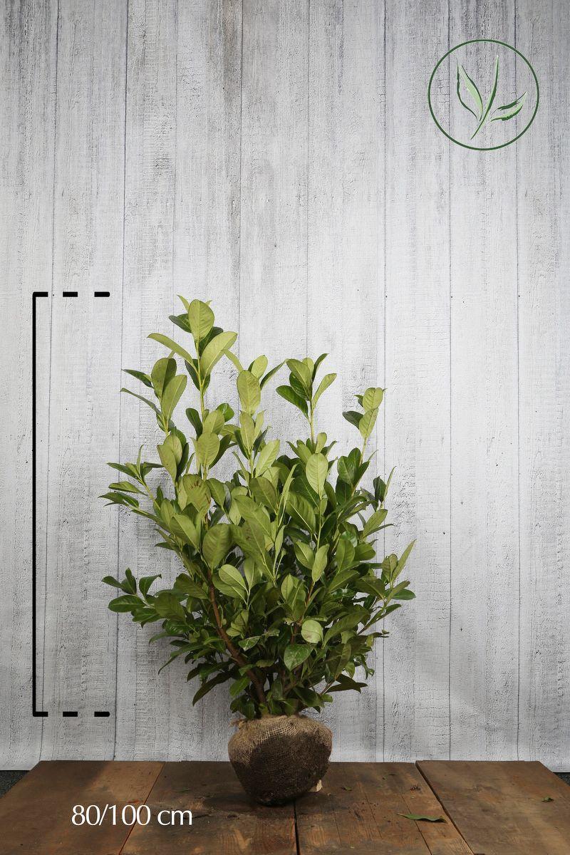 Lauroceraso 'Rotundifolia' Zolla 80-100 cm Qualità extra
