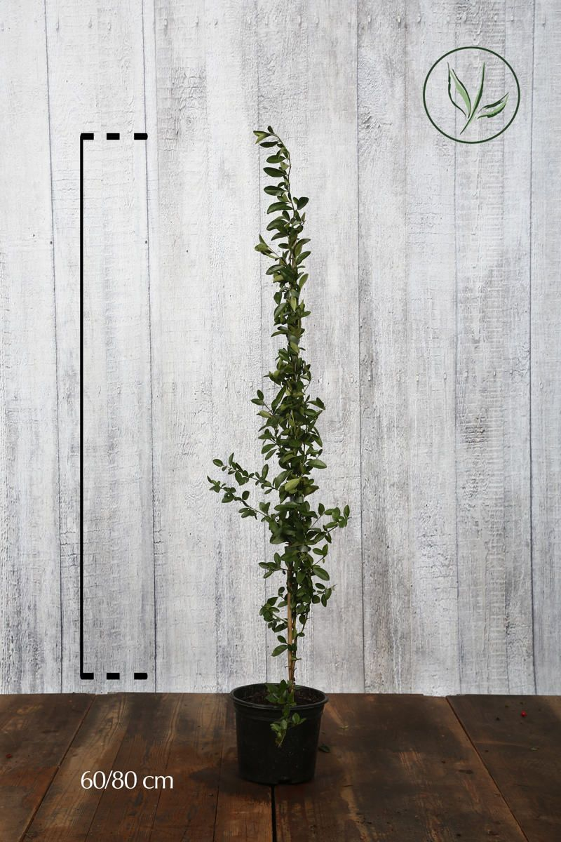 Piracanta 'Soleil d'Or' Contenitore 40-60 cm