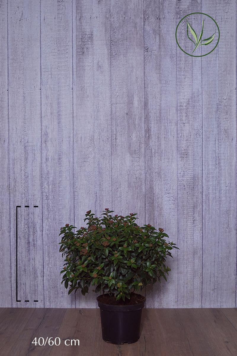 Viburno o Lentaggine Contenitore 40-60 cm