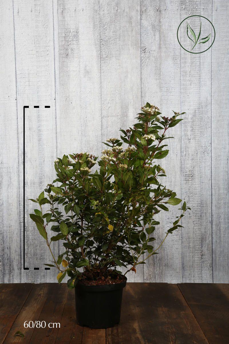 Viburno o Lentaggine Contenitore 60-80 cm