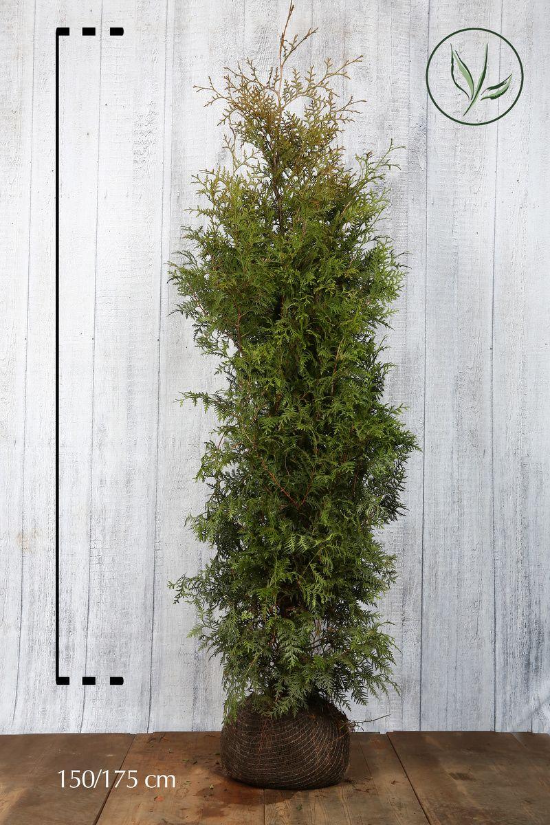 Tuia 'Brabant' Zolla 150-175 cm Qualità extra
