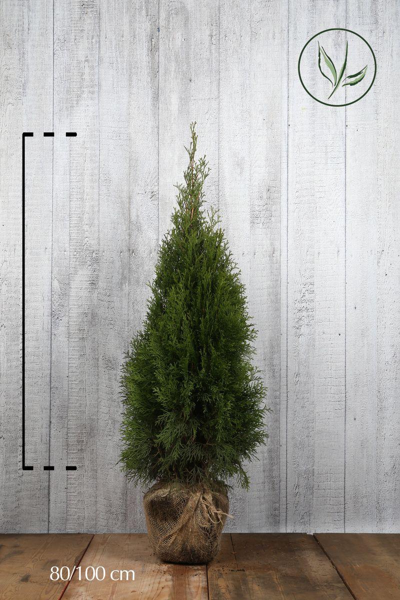 Tuia 'Smaragd' Zolla 80-100 cm Qualità extra