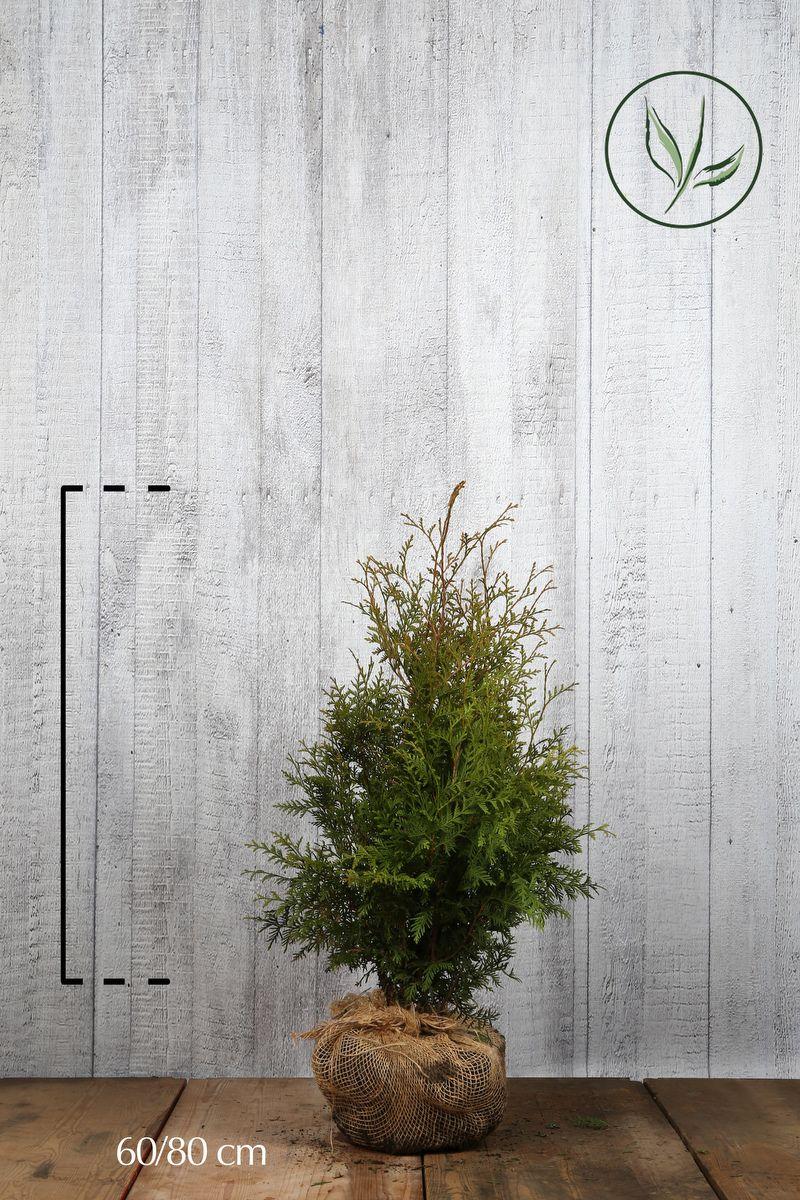 Tuia 'Brabant' Zolla 60-80 cm Qualità extra