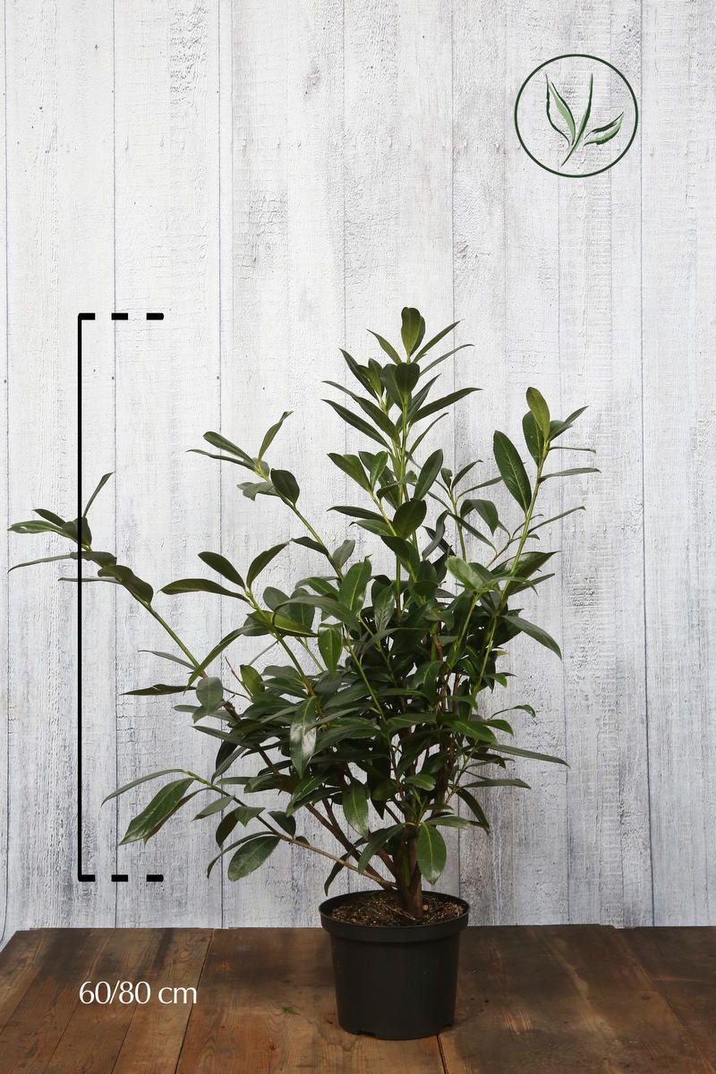 Lauroceraso 'Caucasica' Contenitore 60-80 cm