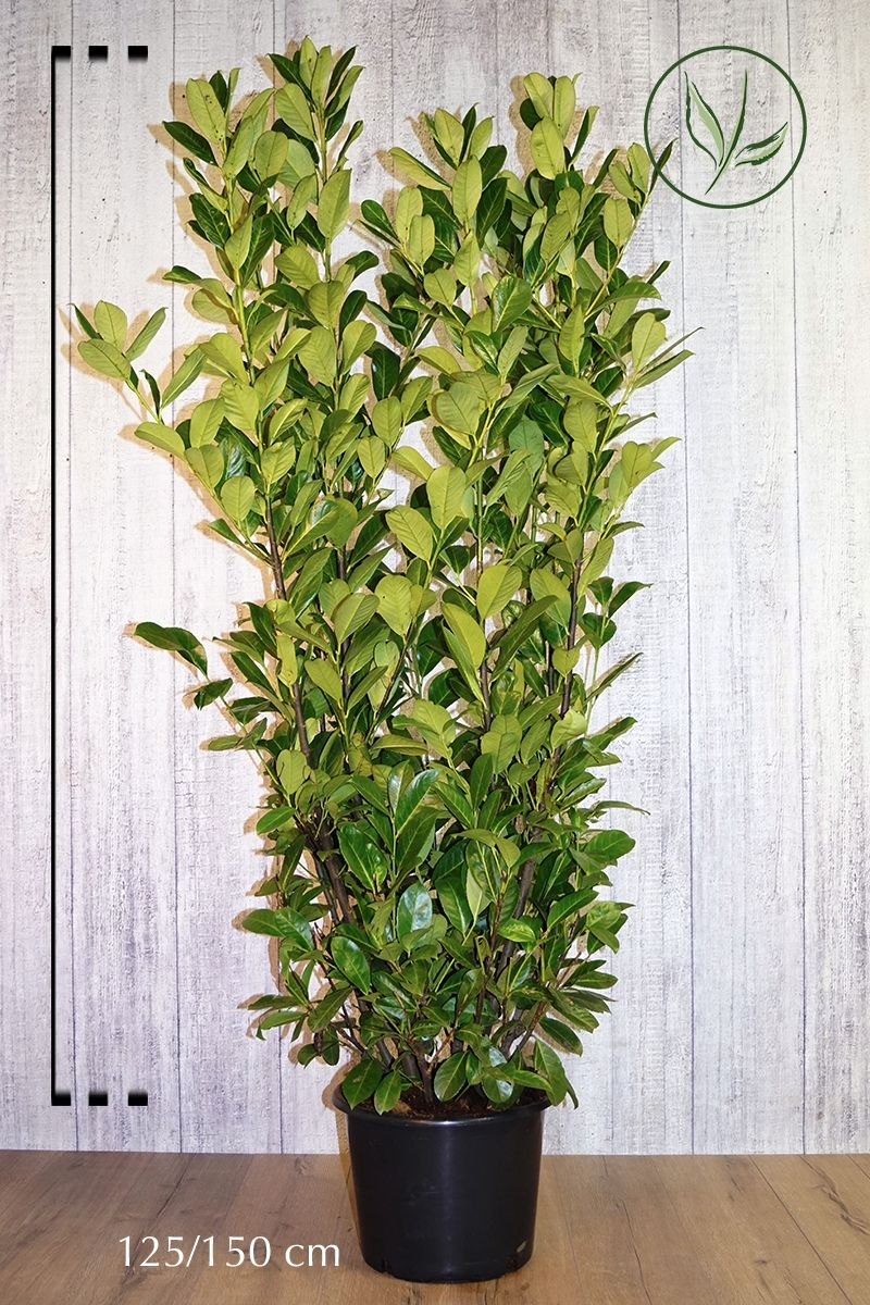 Lauroceraso 'Rotundifolia' Contenitore 125-150 cm Qualità extra