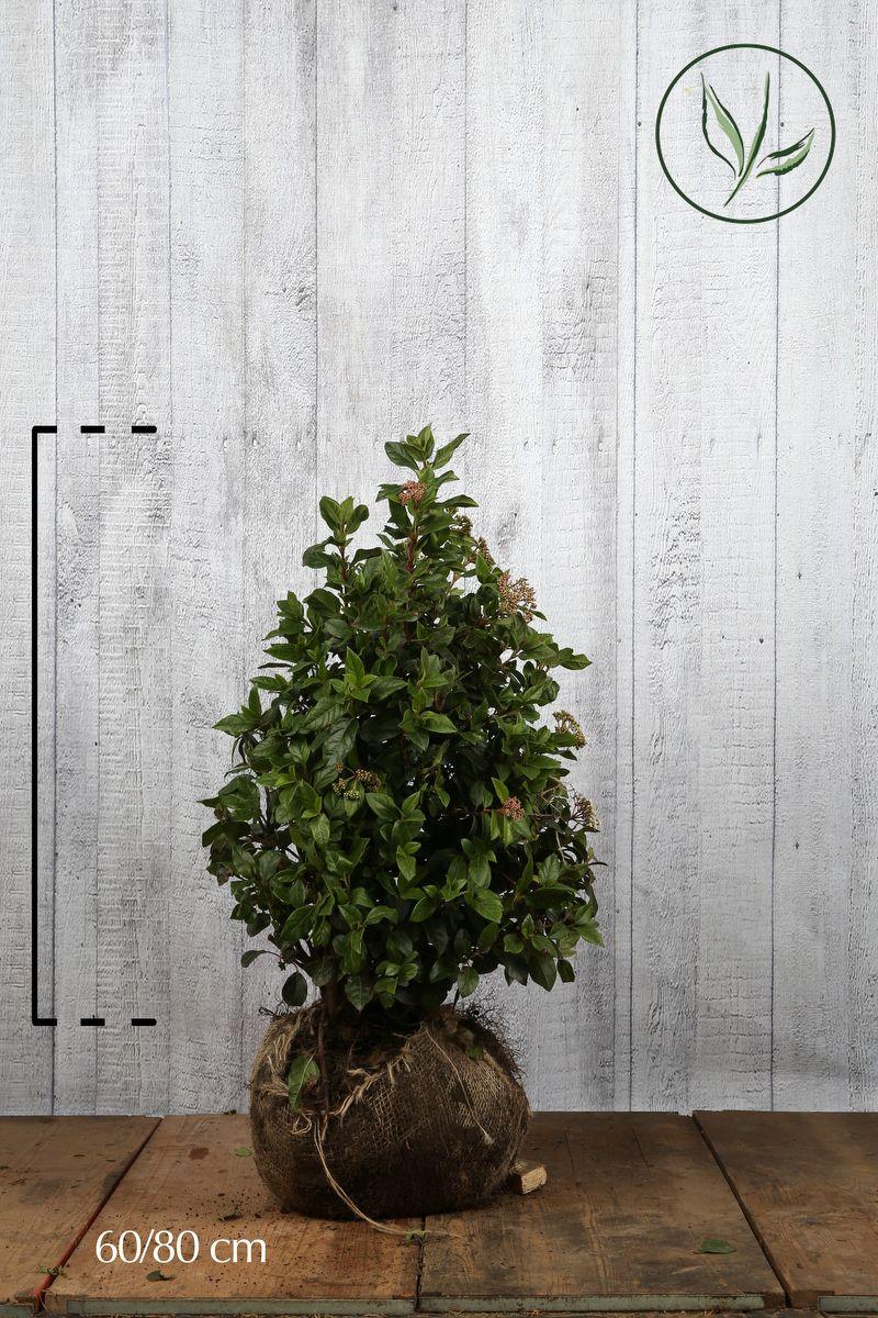 Viburno o Lentaggine Zolla 60-80 cm