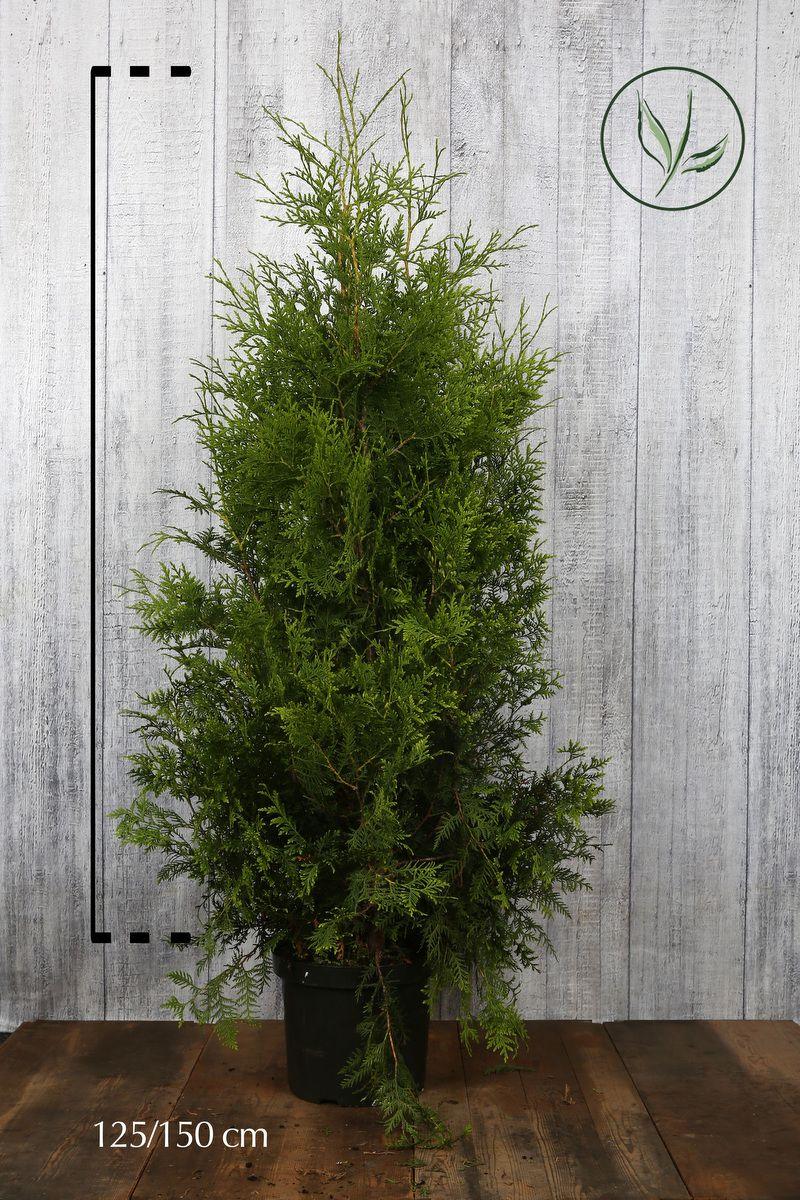 Tuia 'Brabant' Contenitore 125-150 cm Qualità extra