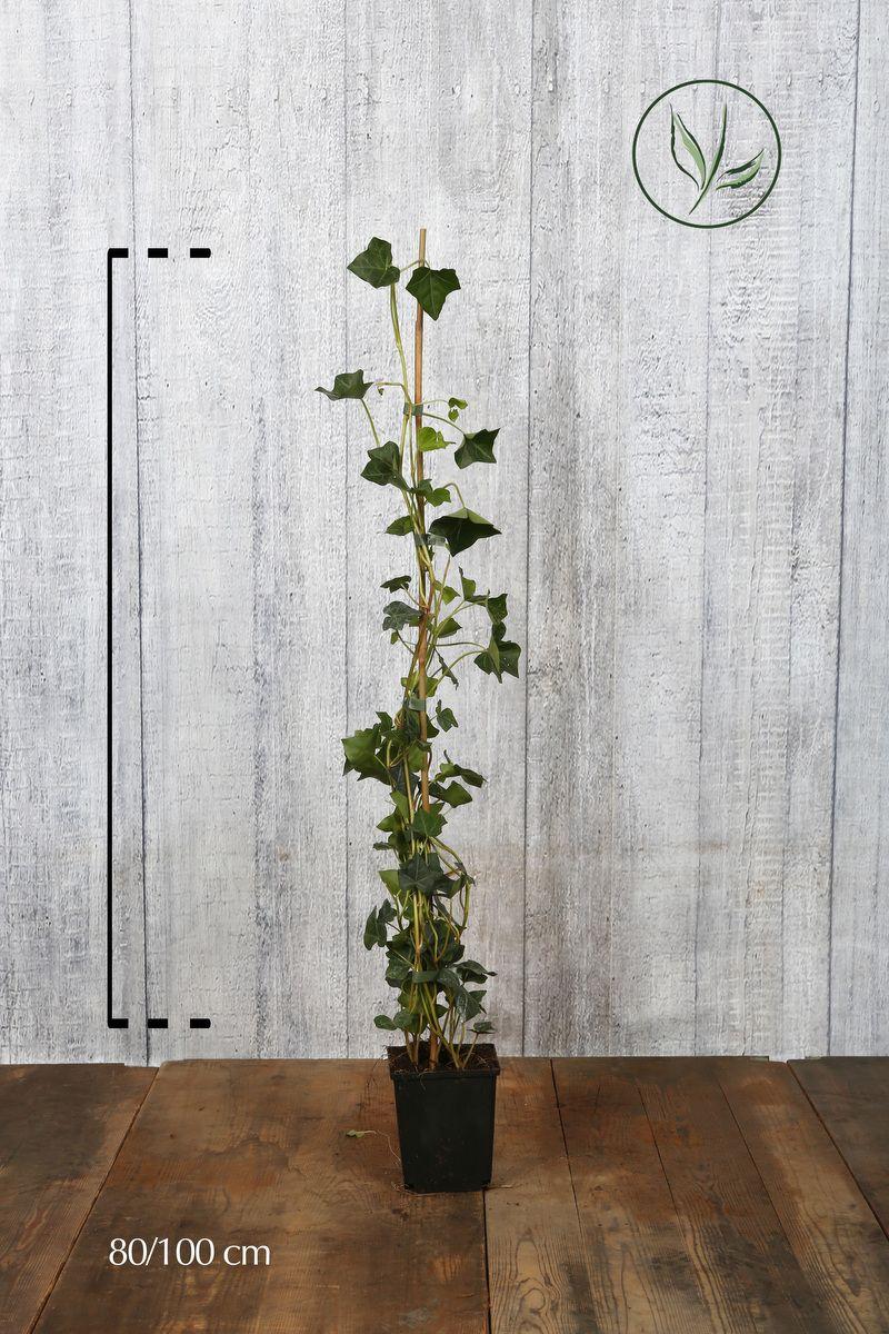 Edera comune hibernica Contenitore 80-100 cm