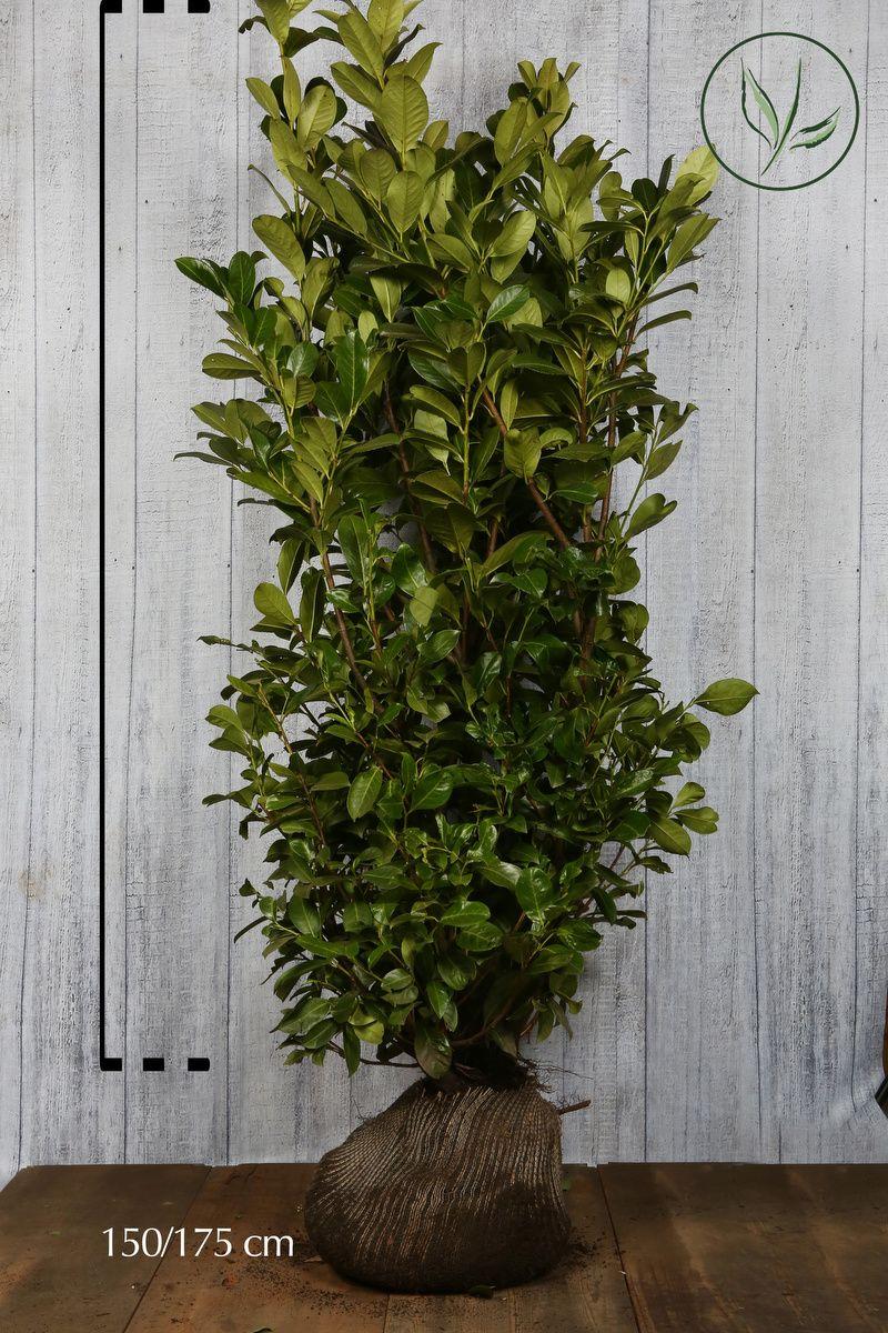 Lauroceraso 'Rotundifolia' Zolla 150-175 cm Qualità extra