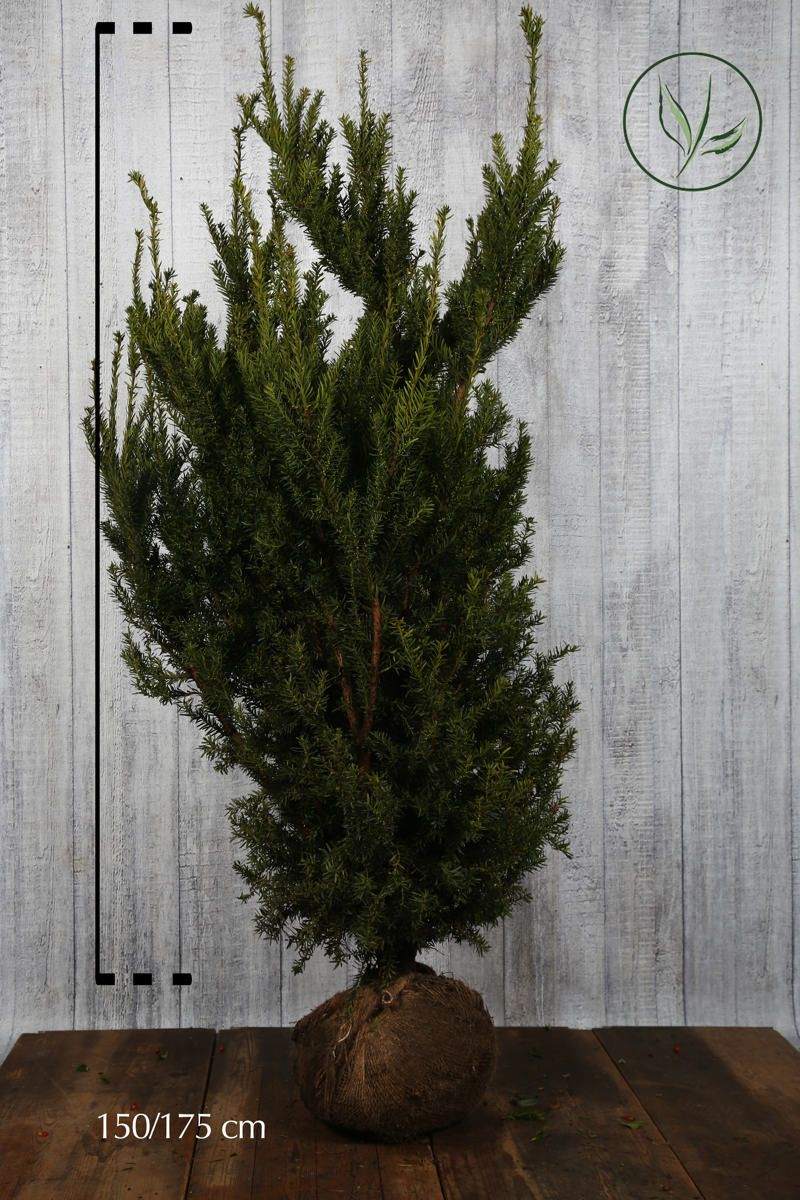 Tasso 'Hicksii' Zolla 150-175 cm Qualità extra