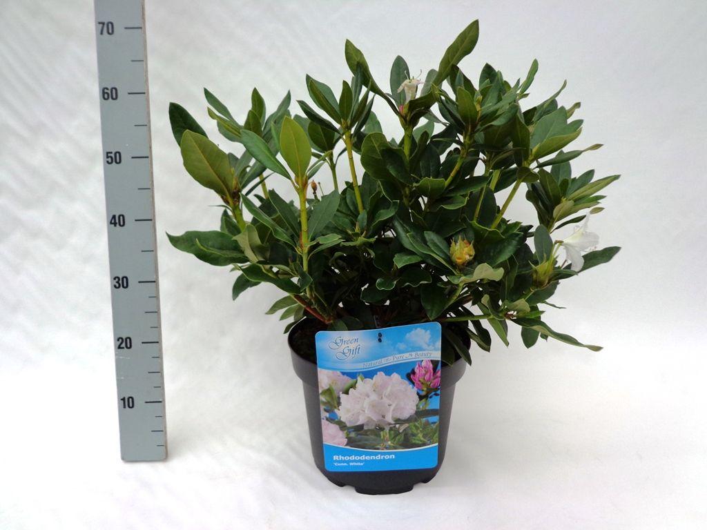 Rododendro 'Cunninghams White' Contenitore 40-50 cm Qualità extra