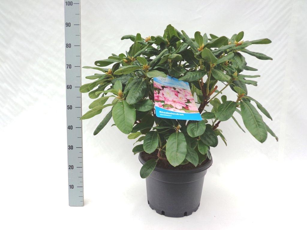 Rododendro 'Scintillation' Contenitore 60-70 cm Qualità extra