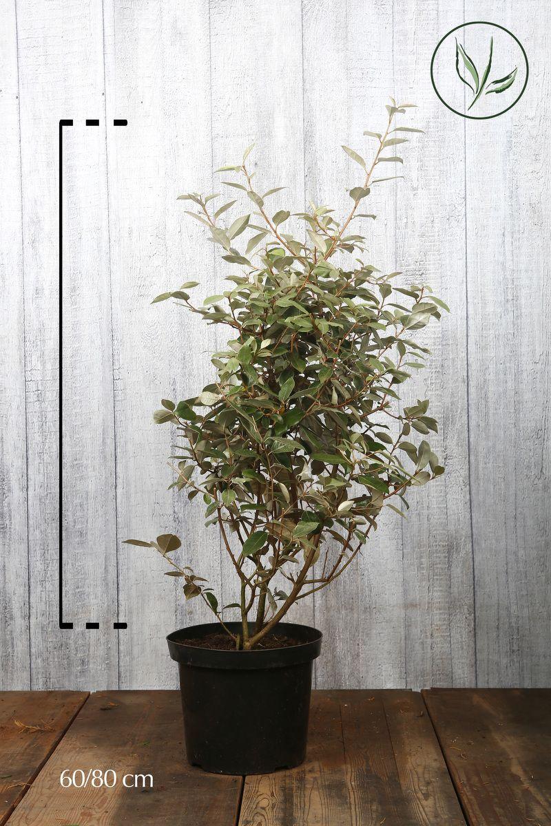 Olivagno Contenitore 60-80 cm