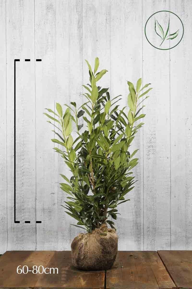 Lauroceraso 'Caucasica' Zolla 60-80 cm
