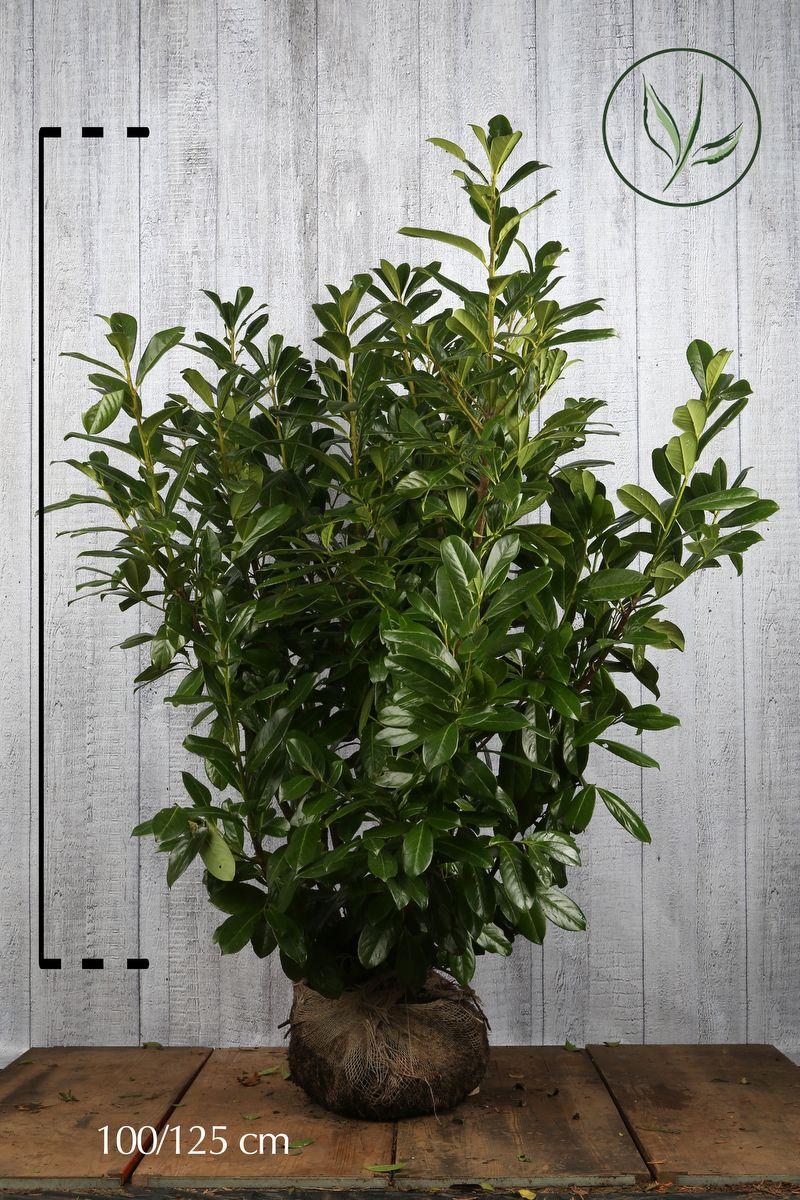 Lauroceraso 'Novita' Zolla 100-125 cm Qualità extra
