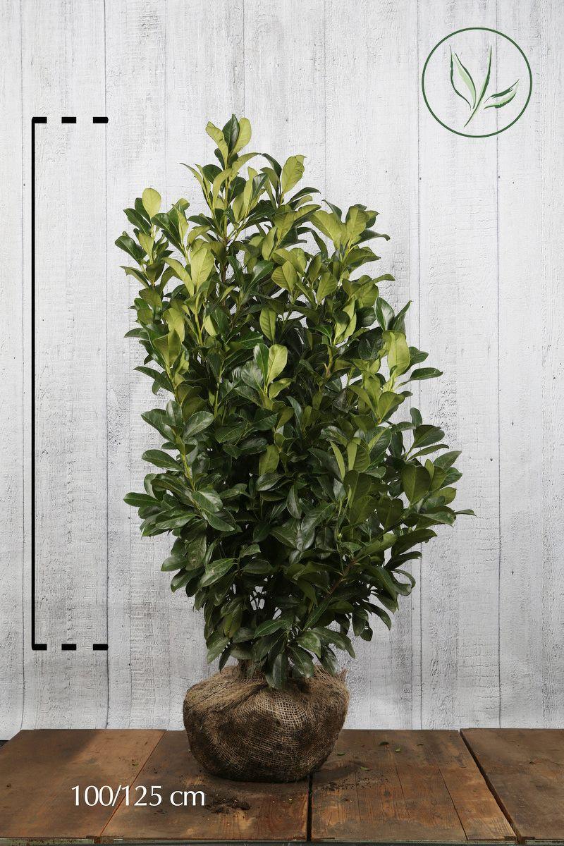 Lauroceraso 'Etna' Zolla 100-125 cm Qualità extra