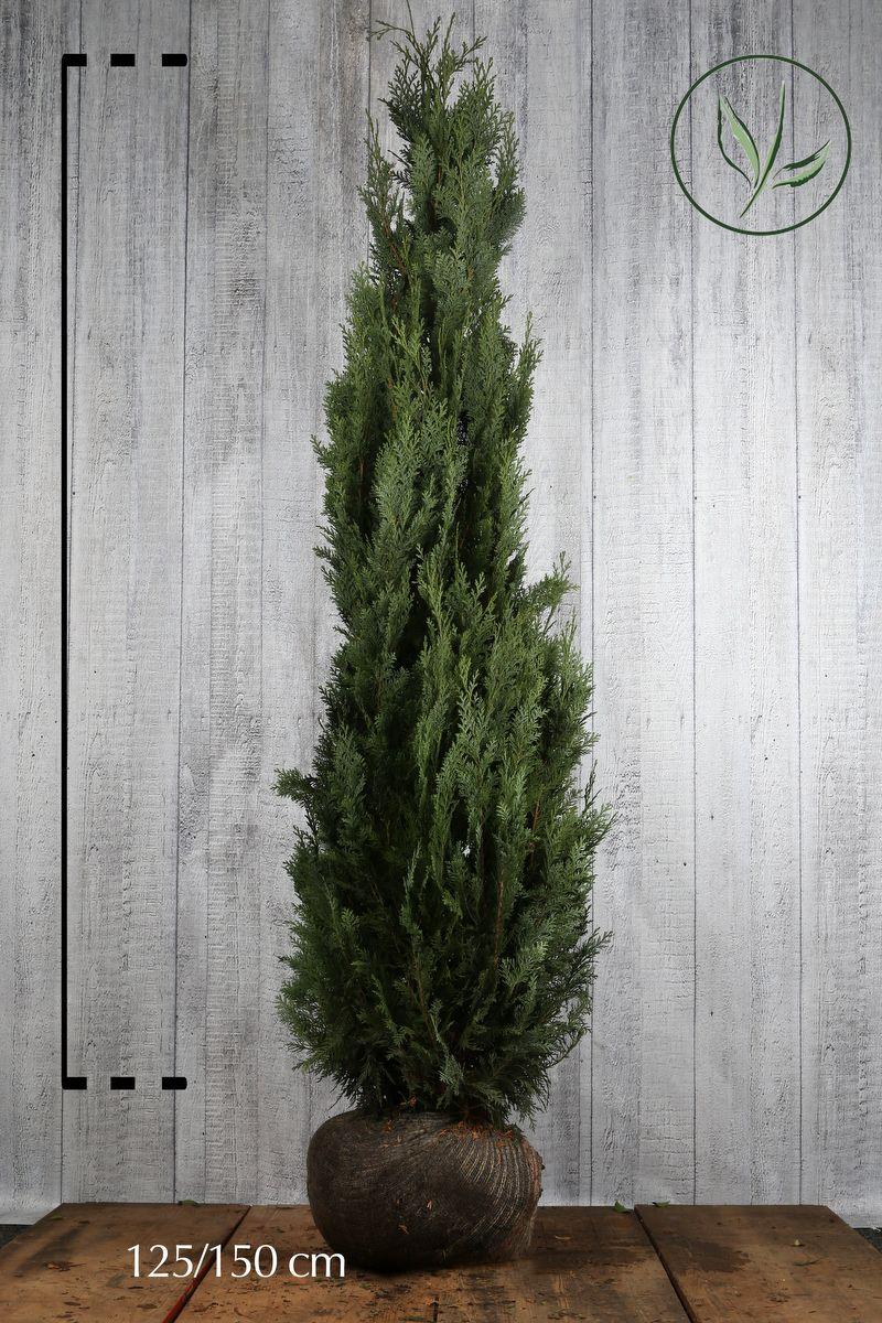 Cipresso di Lawson 'Columnaris' Zolla 125-150 cm