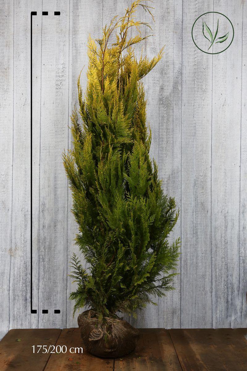Cipresso di Lawson 'Ivonne' Zolla 175-200 cm