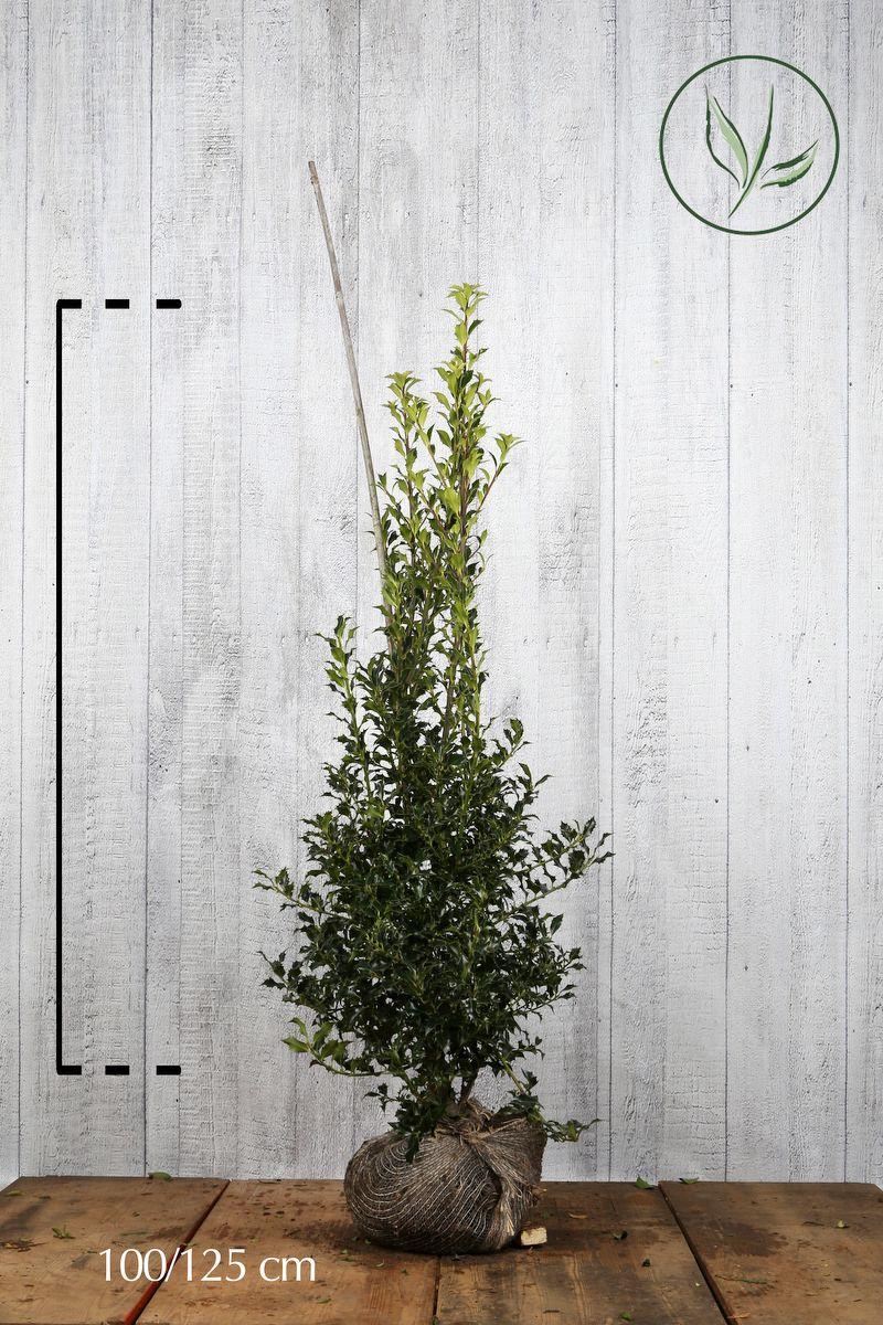 Agrifoglio 'Alaska' Zolla 100-125 cm