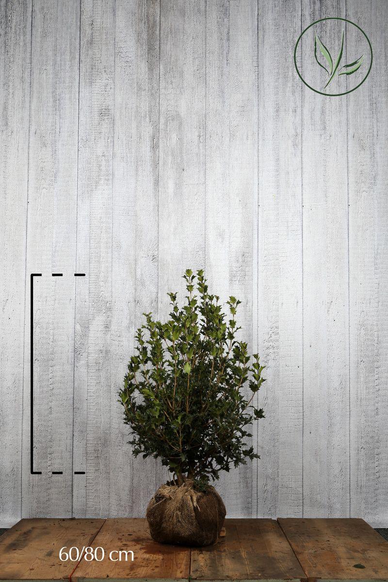 Osmanto heterophyllus (a fioritura autunnale) Zolla 60-80 cm
