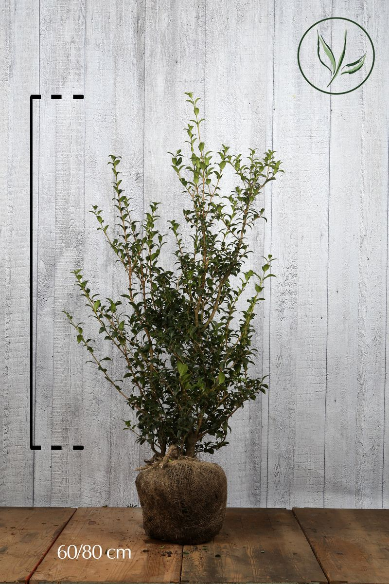 Osmanto di Burkwood Zolla 60-80 cm