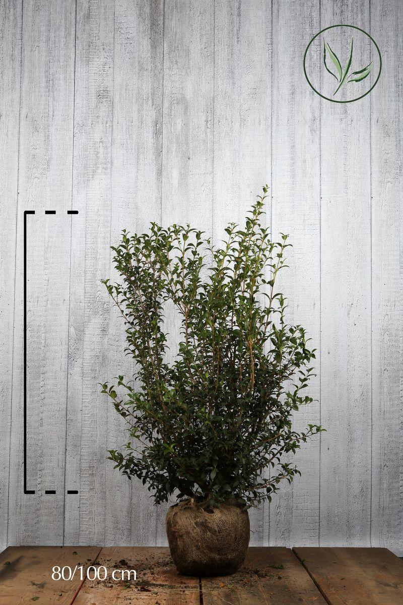 Osmanto di Burkwood Zolla 80-100 cm