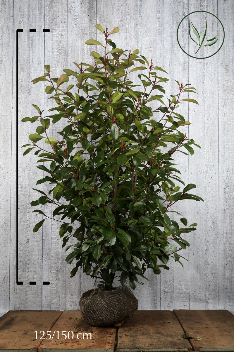 Fotinia 'Red Robin' Zolla 125-150 cm Qualità extra