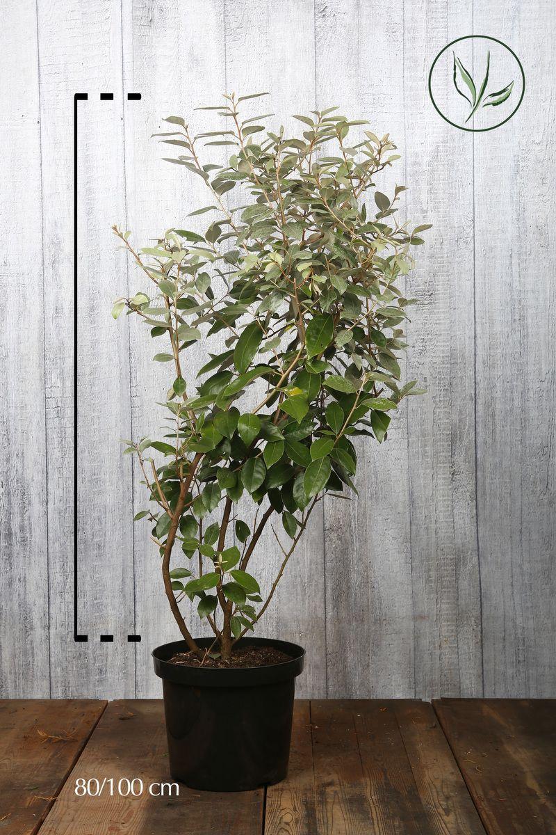 Olivagno Contenitore 80-100 cm