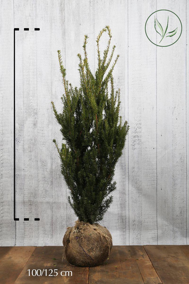 Tasso 'Hillii' Zolla 100-125 cm