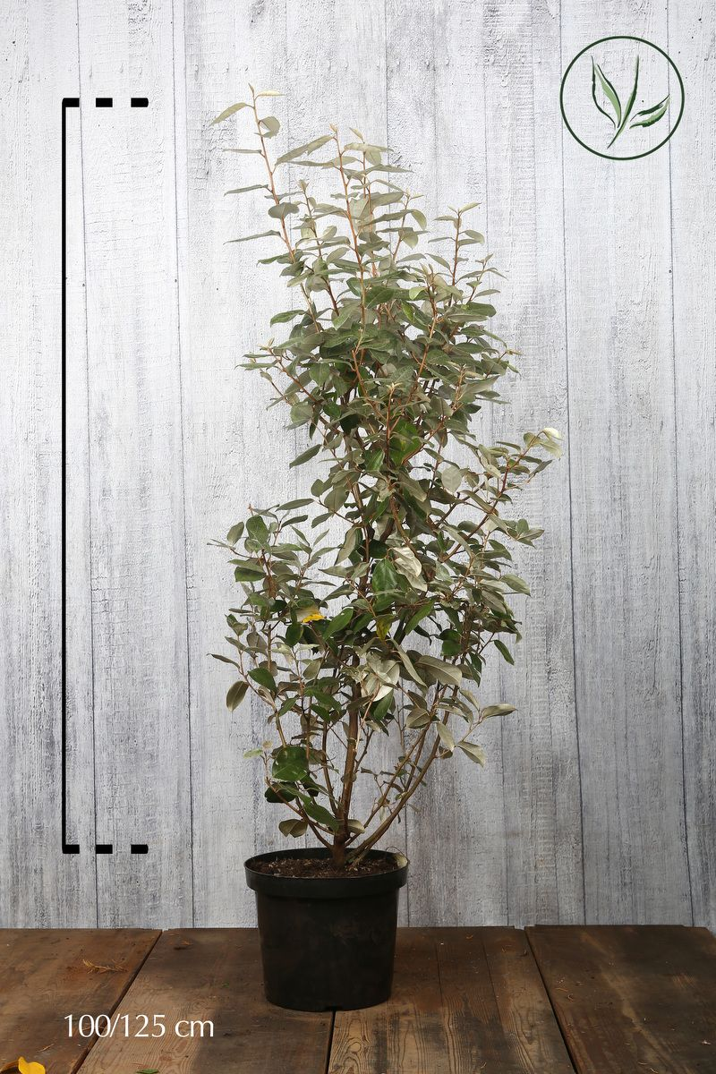Olivagno Contenitore 100-125 cm
