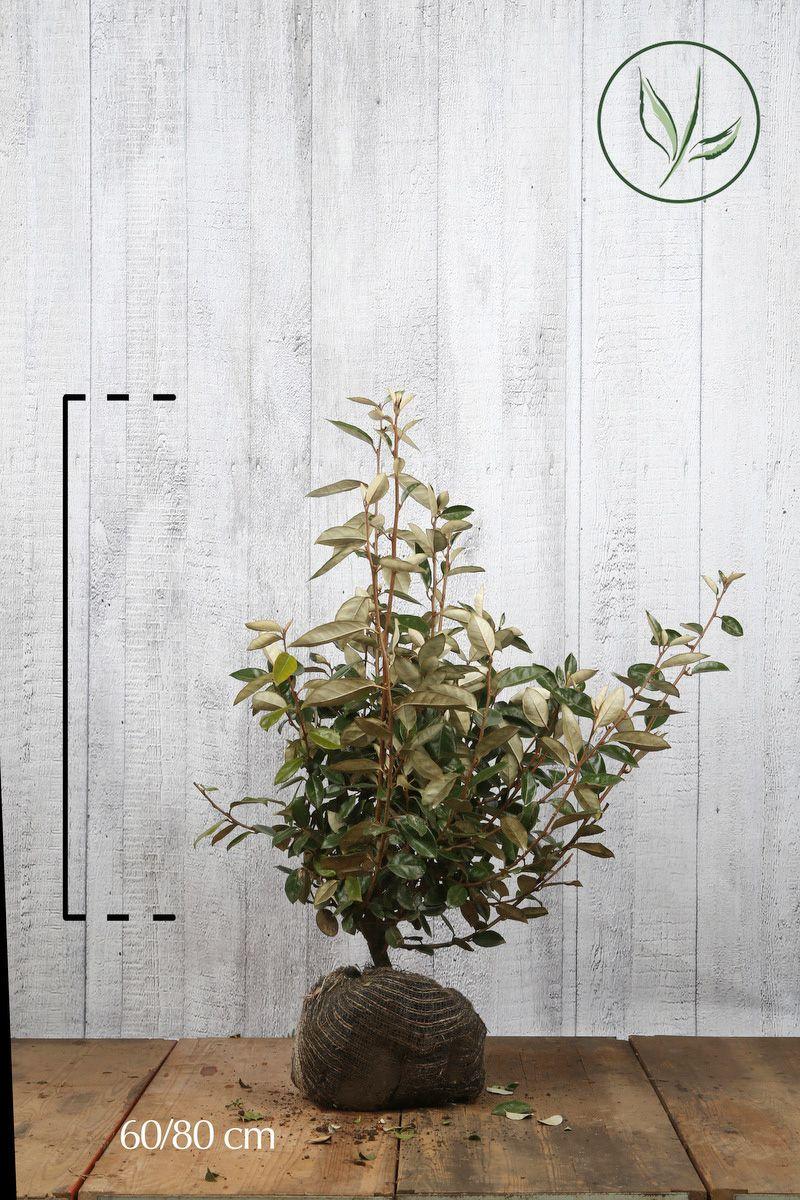 Olivagno Zolla 60-80 cm
