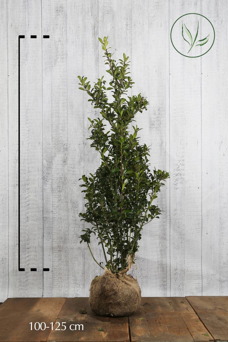 Agrifoglio 'Heckenpracht' Zolla 100-125 cm