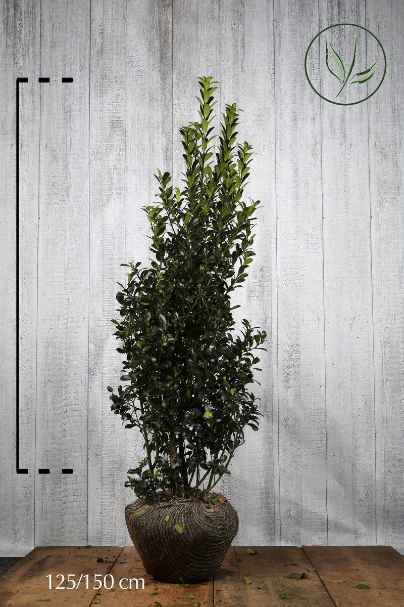 Agrifoglio 'Heckenpracht' Zolla 125-150 cm