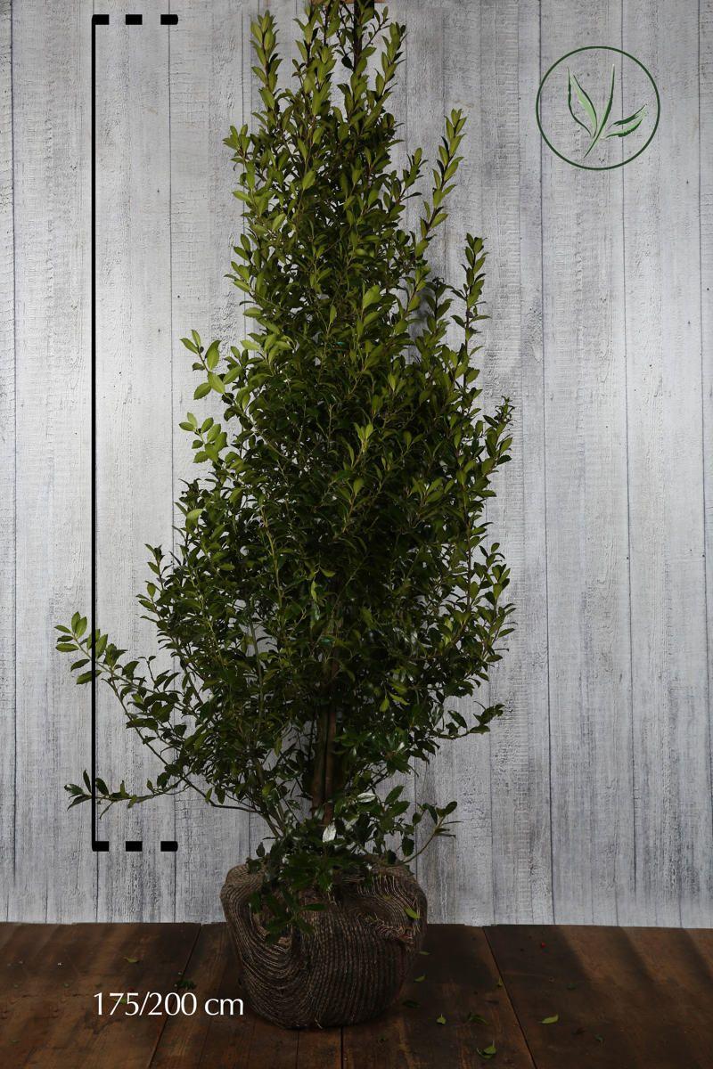 Agrifoglio 'Heckenpracht' Zolla 175-200 cm