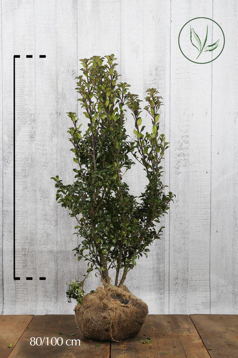 Agrifoglio 'Heckenstar' Zolla 80-100 cm