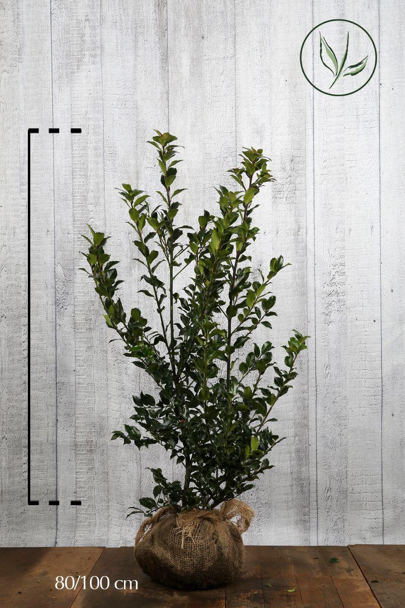 Agrifoglio 'Blue Maid' Zolla 80-100 cm
