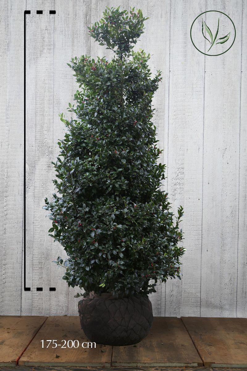 Agrifoglio 'Blue Maid' Zolla 175-200 cm Qualità extra