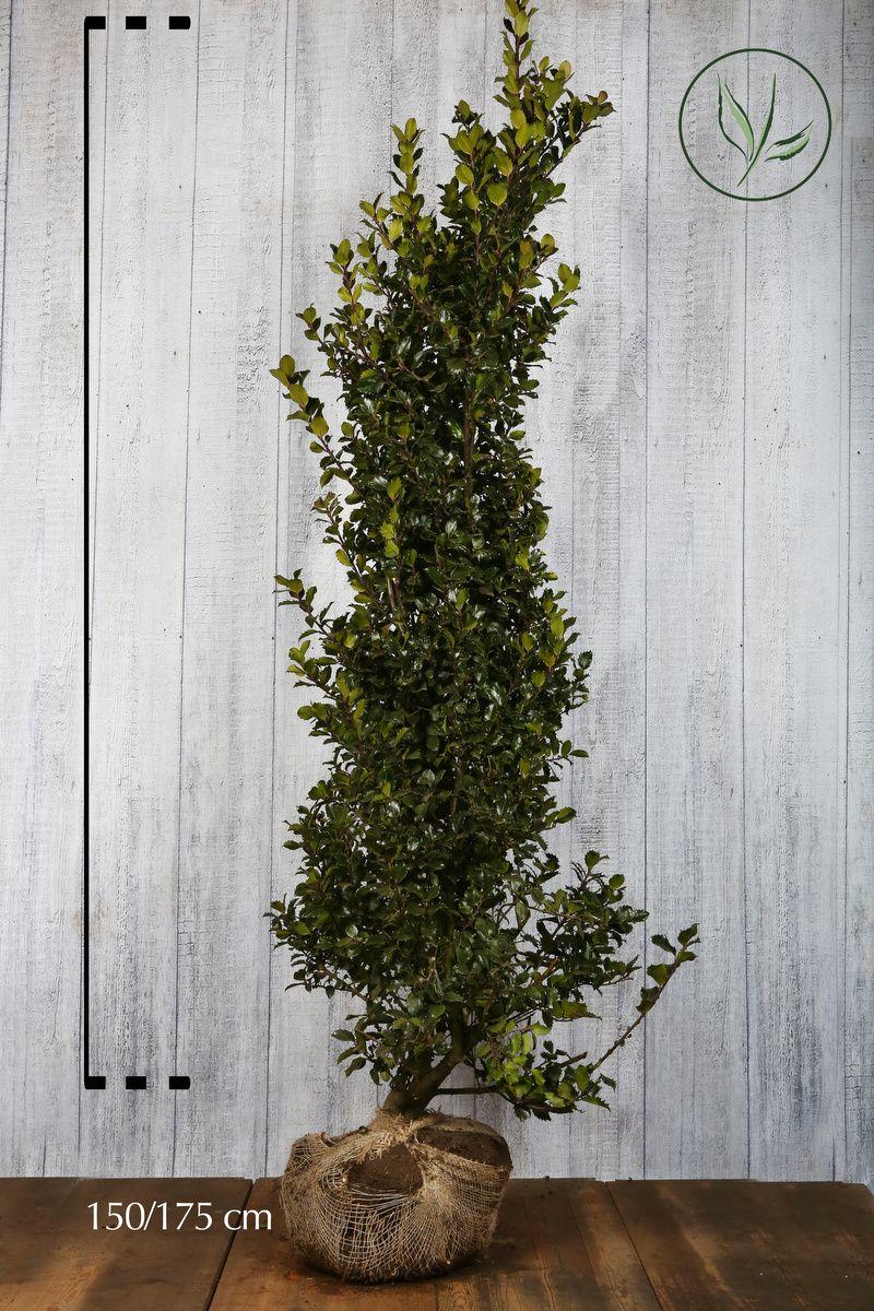 Agrifoglio 'Blue Prince' Zolla 150-175 cm