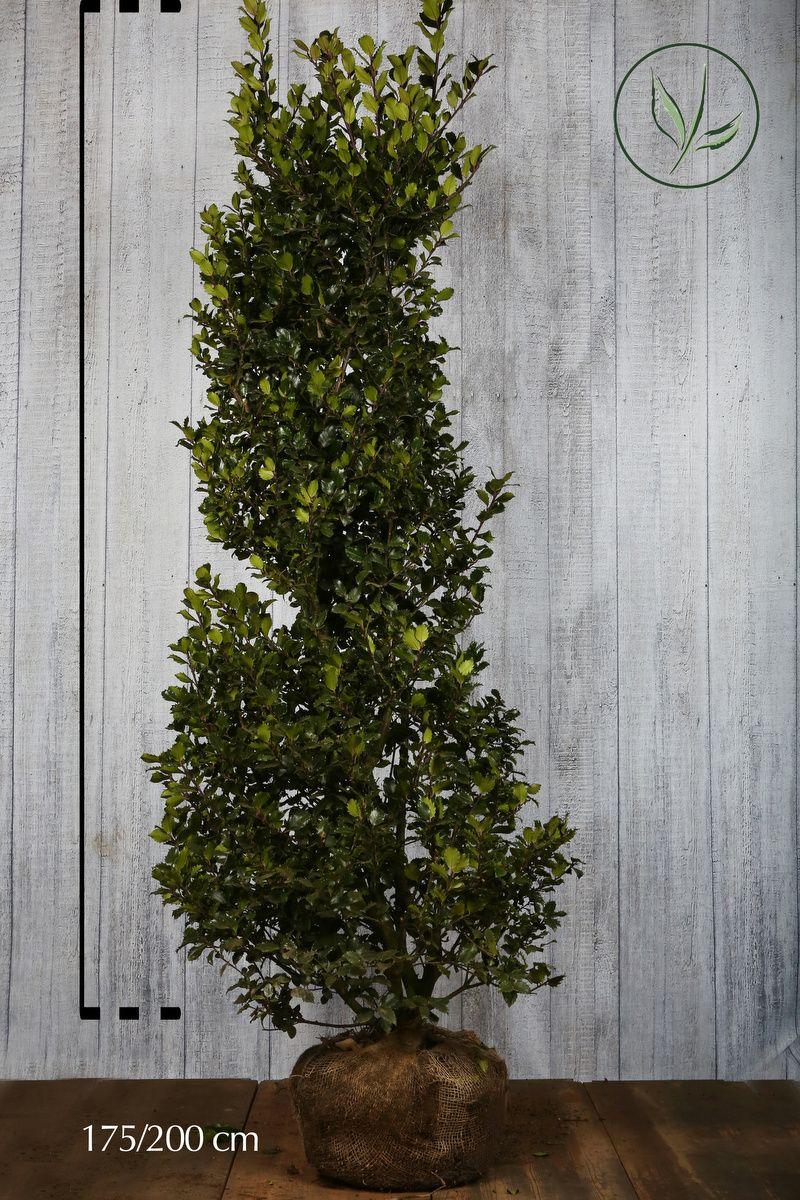 Agrifoglio 'Blue Prince' Zolla 175-200 cm Qualità extra