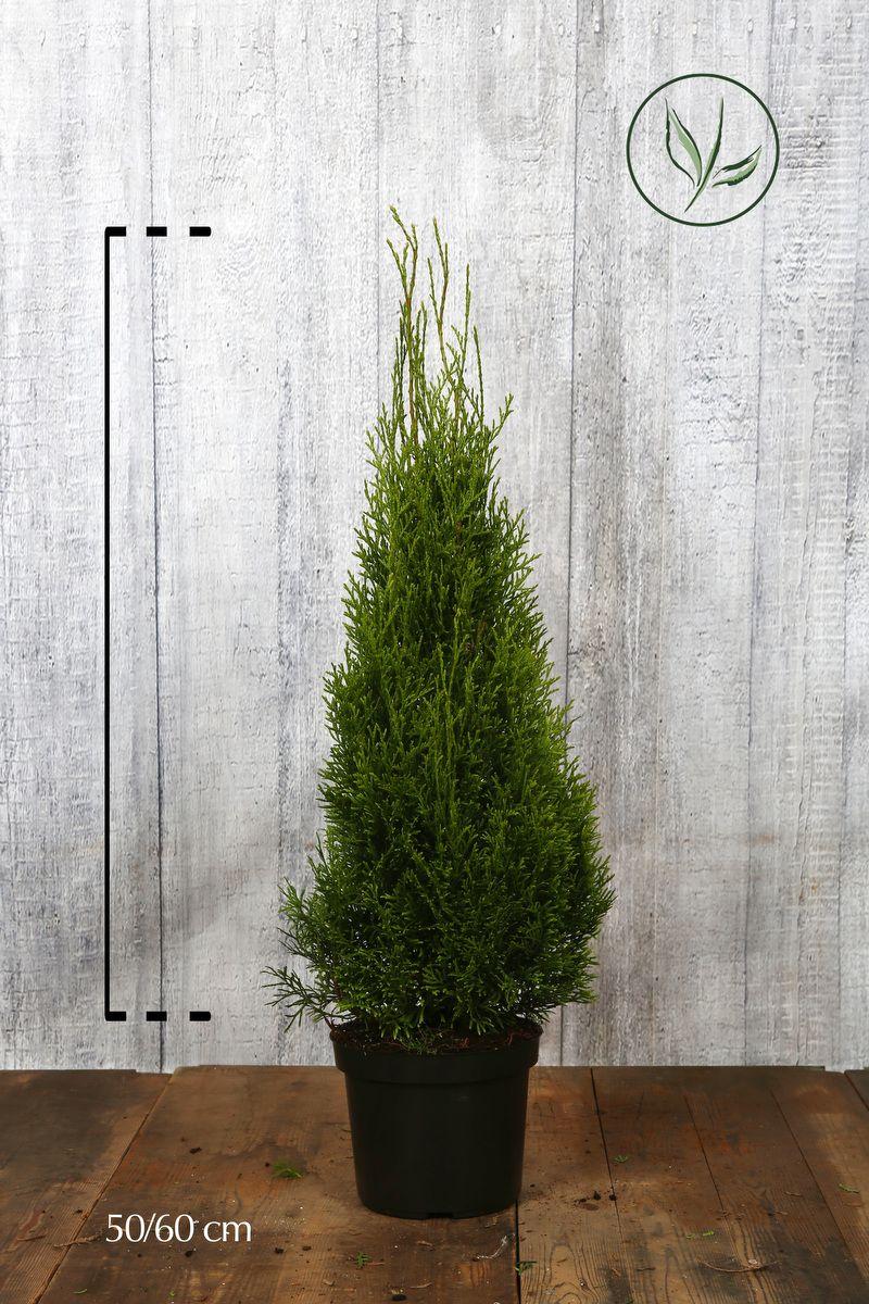 Tuia 'Smaragd' Contenitore 50-60 cm Qualità extra