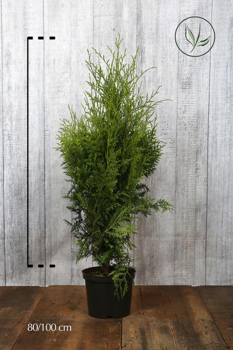 Tuia 'Brabant' Contenitore 80-100 cm Qualità extra