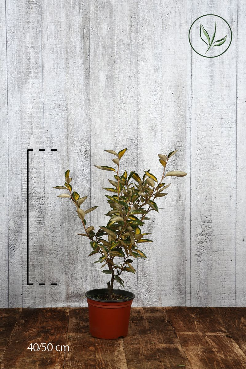 Olivagno Limelight Contenitore 40-50 cm