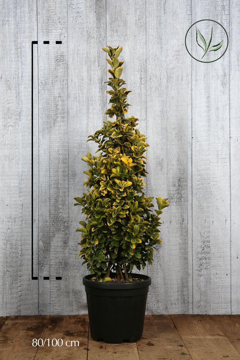 Evonimo del Giappone 'Aureus' Contenitore 80-100 cm