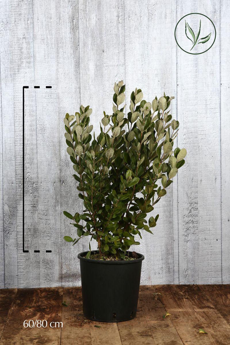 Feijoa Contenitore 60-80 cm