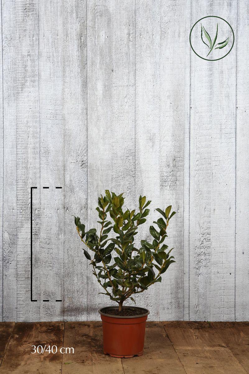 Agrifoglio 'Nellie R. Stevens' Contenitore 30-40 cm