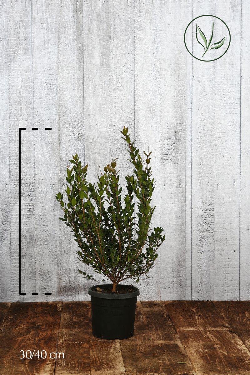 Mirto comune Contenitore 30-40 cm