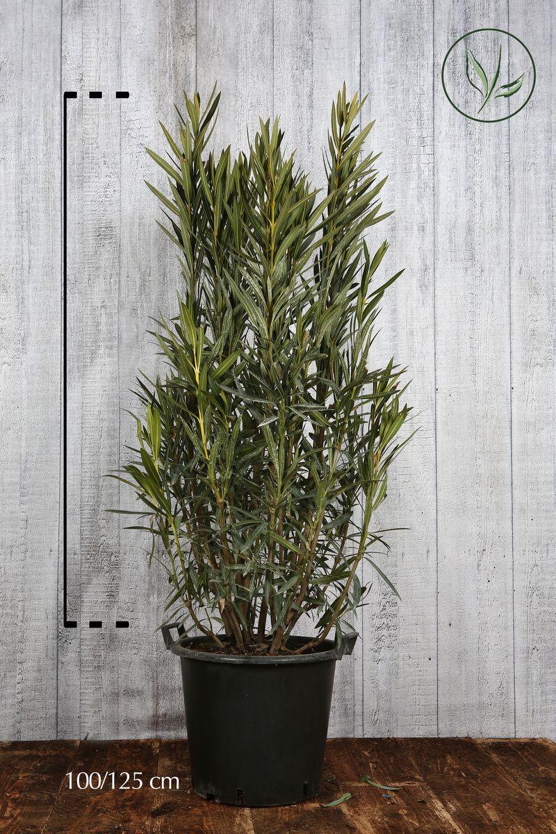 Oleandro 'Yellow' Contenitore 100-125 cm