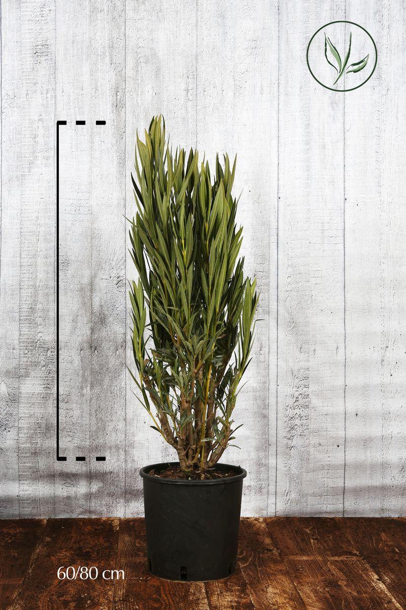 Oleandro 'White' Contenitore 60-80 cm