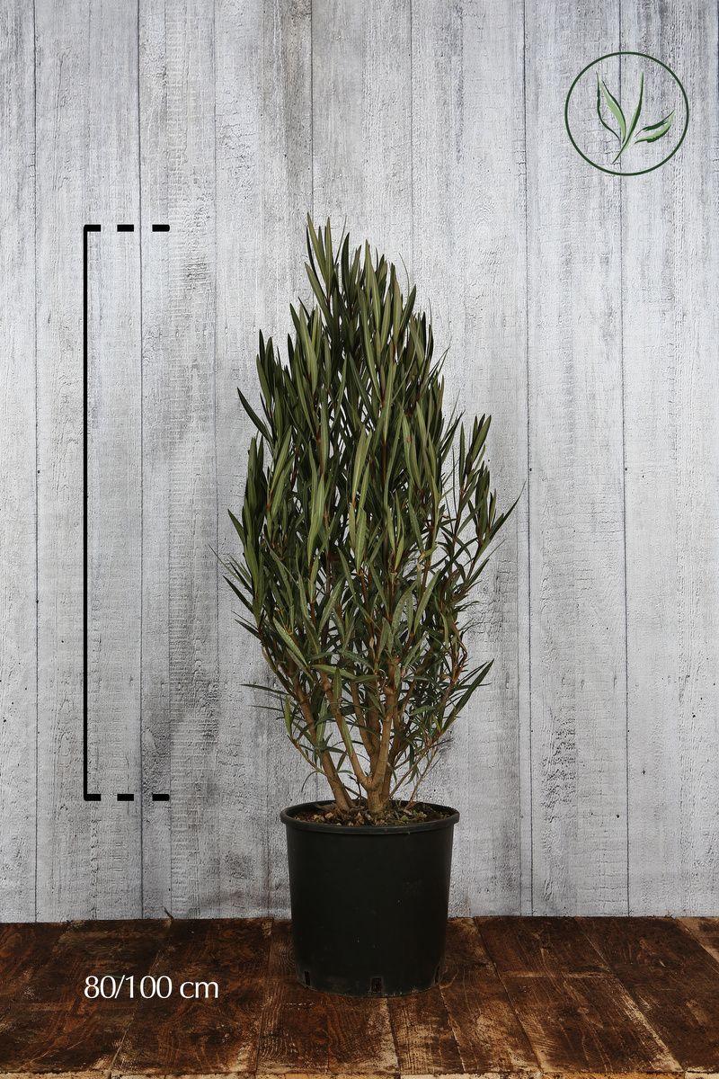 Oleandro 'White' Contenitore 80-100 cm